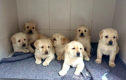 Imagen de distintos cachorros futuros perros guía