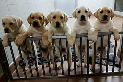Cachorros de perro guía